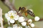 abeille en vol insecte nature image faune macro hymenoptere (5).jpg